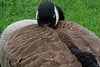 A Canada Goose weathering the rain in Ottawa, Ontario (Ullysses) Tags: canadagoose ottawa ontario canada spring printemps goose oie victoriaisland turtleisland