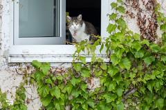 window cat (madtacker) Tags: katze panasonic lumix fz1000 haus stadt fenster wein grün getigert blick tier