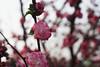 plum blossom @ Beijing, China (shihao_ethan) Tags: plum blossom flower plumblossom plumflower beijing china