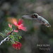 Phoenix Desert Gardens-Hummingbird [Explore] (Michigan Transplant) Tags: hummingbird arizona phoenixdesertgardens