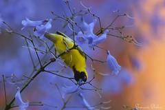 Passion (Sumarie Slabber) Tags: bird birding pretoria southafrica southernmaskedweaver purple jacaranda tree flowers yellowbird nature urban