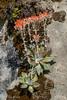 Canyon Dudleya (Dudleya cymosa) (aliceinwl1) Tags: ca california canyondudleya crassulaceae dudleya dudleyacymosa indiansroad lospadresnationalforest montereycounty plantae stonecropfamily cymosa liveforever locpublic plant viseveryone