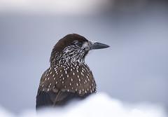 Notenkraker, sneeuw (fr@nspelsmaekers) Tags: notenkraker spottednutcracker nucifragacaryocatactes cassenoixmoucheté tannenhäher