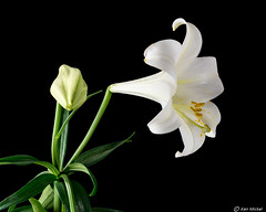 Easter Lily (Ken Mickel) Tags: easterlily floral flower flowers flowersplants lily plants blackbackground closeup nature photography upclose