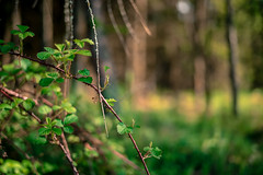 Wilderness? (mripp) Tags: art kunst wald forrest tree baum bäume nature natur green colors color outside leica m1s summilux 50mm
