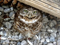 The burrowing owl (EcoSnake) Tags: owls burrowingowl birds wildlife spring april idahofishandgame naturecenter