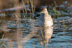 Wood sandpiper (uusija) Tags: tringaglareola woodsandpiper bird linnut liro luonto nature