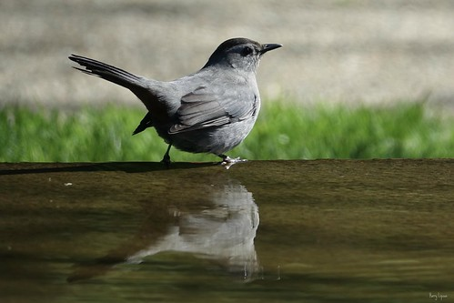 """Grey Catbird • <a style=""""font-size:0.8em;"""" href=""""http://www.flickr.com/photos/52364684@N03/34234250560/"""" target=""""_blank"""">View on Flickr</a>"""