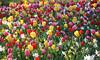 08-IMG_8845 (hemingwayfoto) Tags: blühen blüte blume farben gartenblume narcissen natur park pflanze rethen tulpe