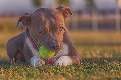 Molly (Cruzin Canines Photography) Tags: animal animals canon canoneos5ds canine canon5ds 5ds eos5ds tamron tamron28300mmf3563divcpzd dog dogs domestic domesticanimal mammal pet pets pitbull pit pitbullterrier americanpitbullterrier terrier dogpark park bakersfield california kerncounty cute ball molly funny girl female hdr highdynamicrange outdoors outside naturallight