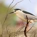 Night Heron, Nycticorax nycticorax, Martinete Común (http://www.birdingtrekkingandnature.com/) Tags: