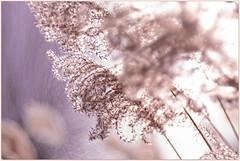 aussi léger qu'une brise d'été......mais en hiver ! (www.nathalie-chatelain-images.ch) Tags: roseaux reeds plumeaux featherduster hiver winter lumière light profondeurdechamp depthoffield nikon trioplan100mmf28lens