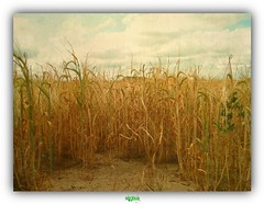 THE HUSH OF THE CORN (régisa) Tags: champs blé field oyeplage wheat corn escardines andalsothetrees