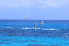 White-Tailed Tropicbirds (Pentas Creations) Tags: bermuda longtails birds whitetailed tropicbird ocean blue