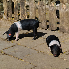 Oxford sandy and black pigs, Mary Arden's Farm, Wilmcote (Dave_A_2007) Tags: susscrofadomesticus animal mammal nature pig wildlife wilmcote warwickshire england