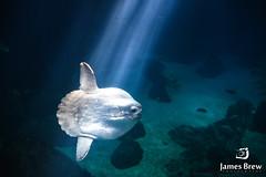 Sun Fish (www.jamesbrew.com) (James Brew (www.jamesbrew.com)) Tags: lisbon portugal europe aquarium fish sun nature city sunfish