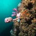 Giant sea tulip - Pyura spinifera (2)