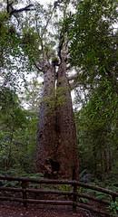 Agatis Nowozelandzki | Kauri Tree