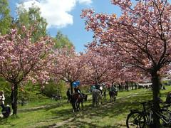 Hanami (gerlindes) Tags: teltow potsdammittelmark landkreisteltowfläming kirschblütenfest japanischeskirschblütenfest hanami kirschbäume zierkirschen ponyreitenunterrosakirschblüten blüte baum baumblüte