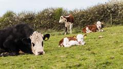 Taking a break (Keith in Exeter) Tags: break rest liedown tired cow calf field farm hedge dorset england outdoor blaarkop cattle