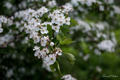 Printemps ! (3) (Tormod Dalen) Tags: smcpentax2835 fleurs boisdevincennes bokeh flowers