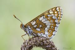 Euphydryas aurinia (jojesari) Tags: euphydryasaurinia ar117g 1217 jojesari suso mariposa butterfly volvoreta macro insecto explore