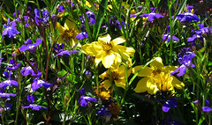 in full bloom (AlexMacJenkins) Tags: garden flowers fullbloom country blooms yellow purple blue inflower inseason