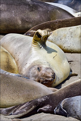 Northern Elephant Seal (hakoar) Tags: northernelephantseal pattern sand group nature heavy waggle large brown portrait shore animal fauna california looking whiskers wildlife colony seal miroungaangustirostris laying life beach colorful eye mammal nose flipper unitedstatesofamerica us