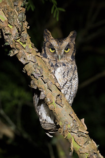 corujinnha-do-sul - Megascops sanctaecatarinae - Long-tufted Screech-Owl