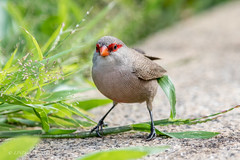 Common Waxbill (Linda Martin Photography) Tags: wildlife tahiti nature birds pacificocean southpacific polynesia papeete cunard coth alittlebeauty estrildaastrild common waxbill commonwaxbill naturethroughthelens
