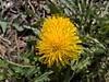 WP_20170325_11_14_37_Pro (vale 83) Tags: dandelion beautifulexpression wpphoto wearejuxt microsoft lumia 550 friends thebestyellow coloursplosion autofocus