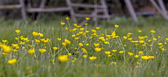 Buttercup Buttercup (Tony_Brasier) Tags: green grass flower faversham play ring kent me13 england nikon 50mm d7200