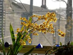 Oncidium sphacelatum species orchid, 1st bloom  4-17* (nolehace) Tags: oncidium sphacelatum species orchid 417 spring nolehace fz1000 flower bloom plant sanfrancisco