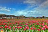 Fields-of-Spring (Nualchemist) Tags: springimage tulipfestival spring seasonal nature tulips daylight hamura negaramimaepaddyfields tokyo cheerful japan travelphotography pink sunny green yellow heavenly flowers landscape landscapephotography warm delightful rural peaceful fullbloom vast wideangle mountains clouds