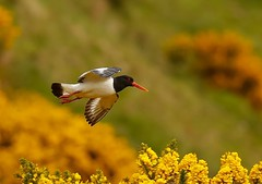 Oyster Catcher (Nigey2) Tags:
