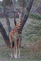Young Giraffe Taking Breakfast (Hector16) Tags: africa nomad safari outdoors tanzania ndutu drought wildlife serengeti arusharegion tz giraffatippelskirchi giraffacamelopardalistippelskirchi