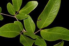 Cynometra iripa (andreas lambrianides) Tags: cynometrairipa wrinklepodmangrove australianflora australiannativeplants australianrainforests australianrainforestplants ntrfp cyrfp qrfp arfp arffs riparianarf fabales leguminosae