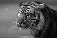the beast in the light (rondoudou87) Tags: tiger tigre monochrome nature natur noiretblanc noir blanc black blackwhite white wildlife wild smcpda300mmf40edifsdm sauvage pentax parc zoo reynou k1 light lumière portrait