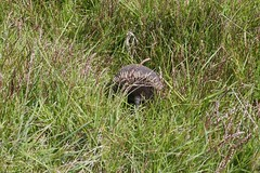Na wer versteckt sich denn da wieder im hohen Gras? Ein Echidna!