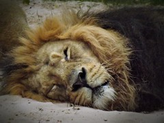 "No 41 "" the Lion sleeps tonight !! ~ Iblis ~ (A4ANGHARAD) Tags: iblis lion chester sl240 fuji a4angharad macevans magicalmoments chesterzoo"