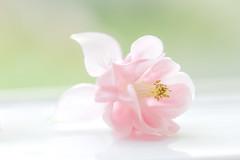 Sweet Columbine (paulapics2) Tags: macro depthoffield flower fleur flora floral blümen nature aquilegia columbine spring frühuling printemps pink canoneos5dmarkiii sigma105mmf28exoshsmmacro highkey softness feminine genle pastel
