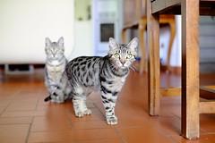 Tina & Paco (Andrea.Piccioli) Tags: tina paco fuji fujinon xf3514 gatto cat tigrato