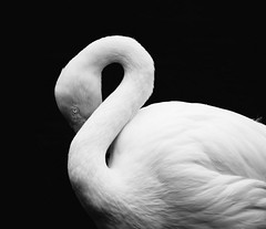Flamingo (STEHOUWER AND RECIO) Tags: flamingo bird bw portrait eye shapes blackandwhite vogel animal fauna water black white beautiful lovely head neck long longneck monogamous wading aquatic aqua waterbird phoenicopteridae phoenicopterus