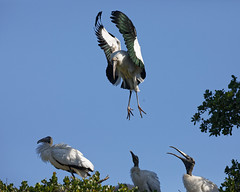 Landing Series (dcstep) Tags: n7a2820dxo nest chicks bif birdinflight flying flight wing wings stork woodstork largebird canon5dmkiv ef100400mmf4556lisii allrightsreserved copyright2017davidcstephens dxoopticspro114 staugustine fl florida usa staugustinealligatorfarm rookery pixelpeeper handheld ecoregistrationcase15586202651