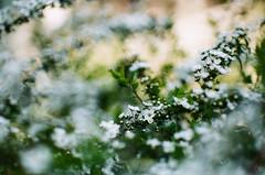 Flower (yasu19_67) Tags: minoltaα7 mcjupiter9 jupiter985mmf2 85mm russialens film filmism filmlike analog filmphotography photooftheday atmosphere osaka japan flower bokeh fujifilm 業務用100