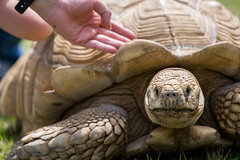 Turtle (Peapotty) Tags: fe petting 70200 a7ii f4 tutrtle sony kurumeshi fukuokaken japan jp