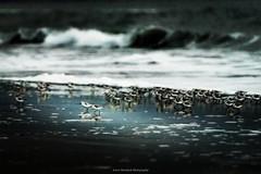Feeding . . . #pointreyes #nps #pointreyesnps #snowyplover #birds #wildlife_seekers #marin #eclectic_shotz #adobe #limantourbeach #nikonusa  #nikontop #theimaged #theearthoutdoors #earth_shotz #westmarin #westcoast #californiacaptures #lpm #beautifuldesti (Larry Nienkark) Tags: instagramapp square squareformat iphoneography uploaded:by=instagram lofi