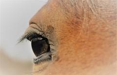 I Spy a Horse's Eye (karma (Karen)) Tags: garrisonforest owingsmills maryland horses eyes macros macromondays hmm 50favs