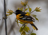 untitled-7838 (bobclark330) Tags: baltimoreoriole lakepark
