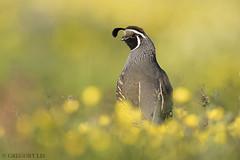 California Quail (Gregory Lis) Tags: californiaquail callipeplacalifornica washingtonstate quail gorylis gregorylis nikond810 nikon
